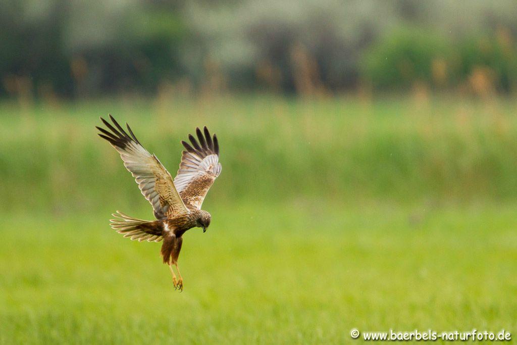Großer Brachvogel, Neuntöter, Fotos, Bilder | Bärbels NaturFoto 2013