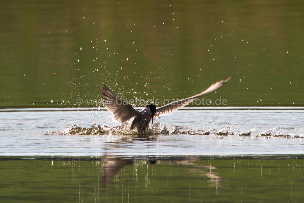 Flussseeschwalbe Siebenschlafe Fotos Bilder Barbels Naturfoto 2014